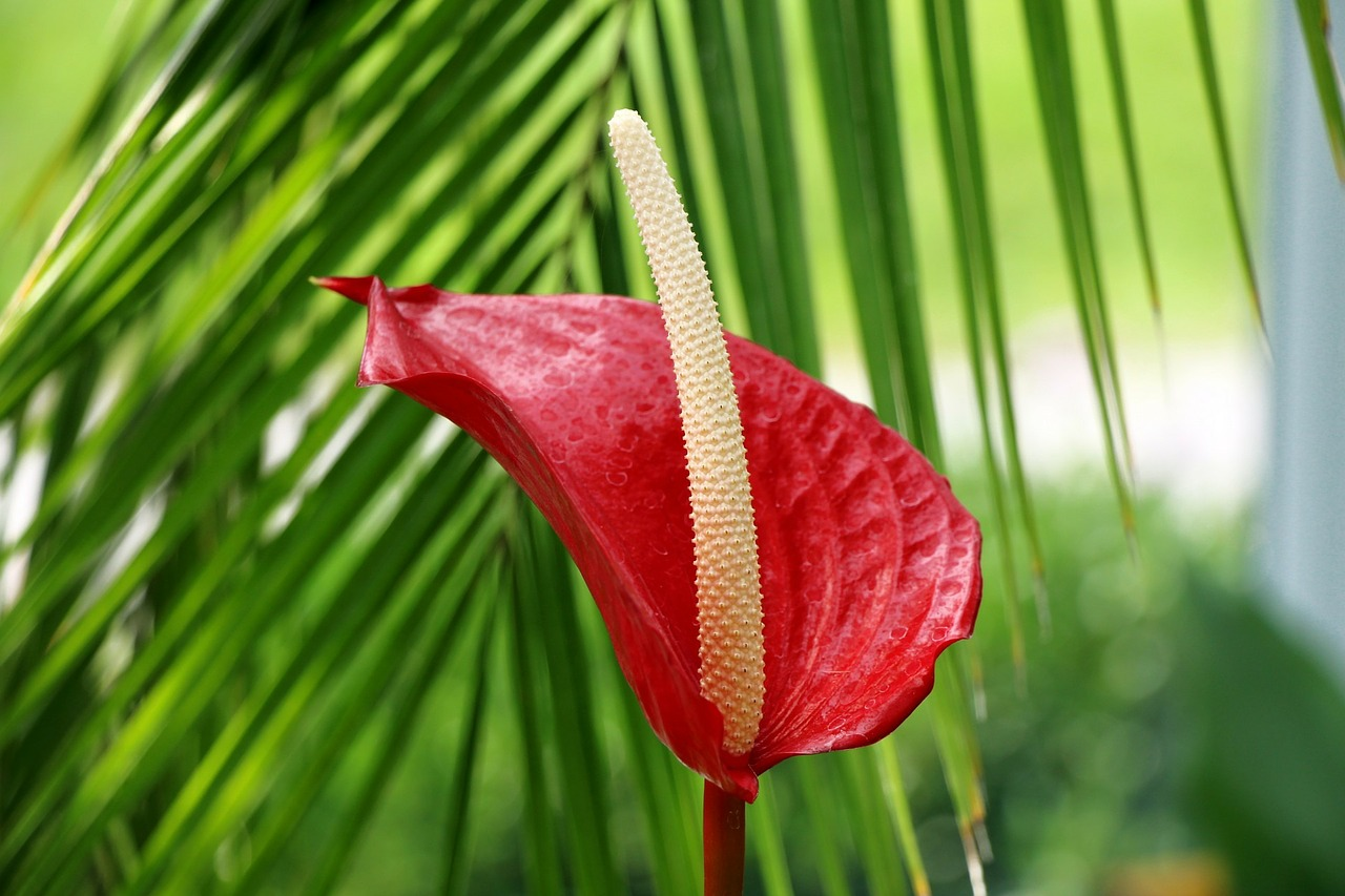 Anthurium (male happiness): care and reproduction at home 12
